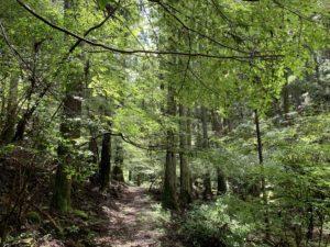 百年杉の小径の写真